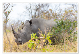 Poster  Rhino grazing in the bush, Kruger National Park, South Africa - Fabio Lamanna
