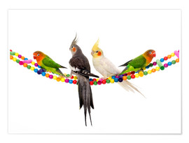 Poster  Lovebirds and cockatiels