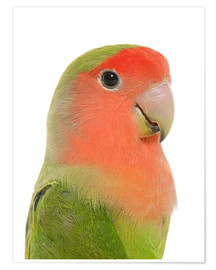 Poster  Cute peach-faced Lovebird