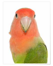 Poster  Sweet Peach-faced Lovebird