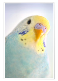 Poster  Details of colorful Budgerigar parrot