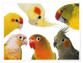 Poster  Colorful parakeets
