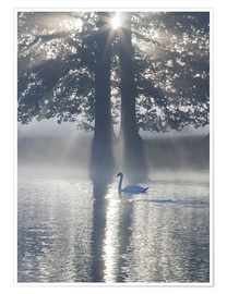 Poster  Swan on misty lake - Alex Saberi