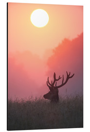 Alu-Dibond  A male deer Stag at sunset - Alex Saberi