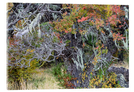Verre acrylique  Magellanic forest in autumn colors, Patagonia, Argentina - Circumnavigation