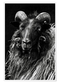 Poster  Heidschnucken Sheep - Martina Cross
