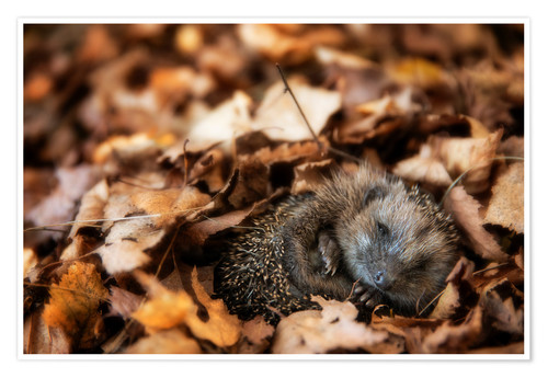 Poster Sleeping baby hedgehog