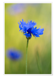 Poster Blooming Cornflowers