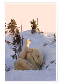 Poster  Polar bear family in Wapusk National Park, Canada