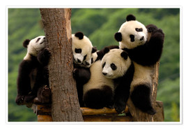 Poster  Giant Panda babies in Wolong China