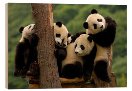 Bois  Giant Panda babies in Wolong China