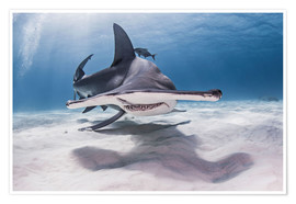 Poster  Great Hammerhead Shark swimming near seabed - Cultura/Seb Oliver
