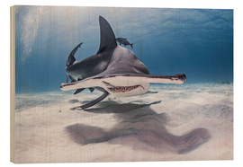 Tableau en bois  Great Hammerhead Shark swimming near seabed - Cultura/Seb Oliver