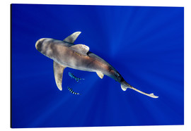 Tableau en aluminium  Oceanic Whitetip Shark with pilot fish around it - Cultura/Seb Oliver