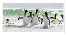 Poster  King Penguin (Aptenodytes patagonicus) on the Falkand Islands in the South Atlantic. Group of pengui - Cubo Images