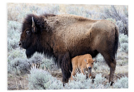 Forex  Cow Nursing Bison Calf, Yellowstone National Park