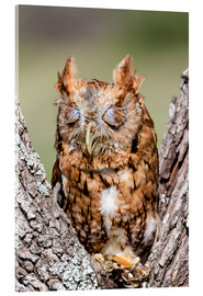 Verre acrylique  Screech-Owl eating grasshopper