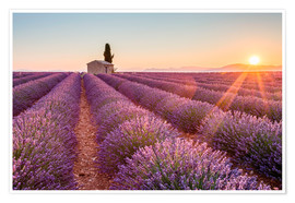 Poster  Valensole Plateau, Provence, France. Sunrise in a lavender field in bloom with lonely rural house an - age fotostock