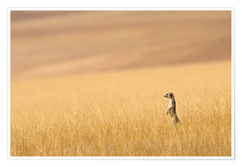 Poster  Hoarusib Valley, Namibia. Africa. A Meerkat stands tall in the prarie grass. - Janet Muir