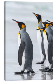 Tableau sur toile  King Penguin (Aptenodytes patagonicus) on the Falkand Islands in the South Atlantic. Group of pengui - Martin Zwick