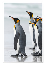 Poster  King Penguin (Aptenodytes patagonicus) on the Falkand Islands in the South Atlantic. Group of pengui - Martin Zwick