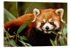 Verre acrylique  China, Chengdu, Wolong National Natural Reserve. Red or lesser panda eating. - Jim Zuckerman