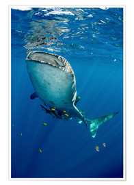 Poster  Whale shark - Pete Oxford