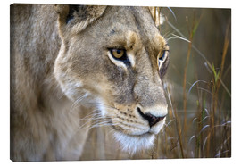Toile  Okavango Delta, Botswana. Close-up of a female lion. - Janet Muir