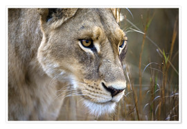 Poster  Okavango Delta, Botswana. Close-up of a female lion. - Janet Muir