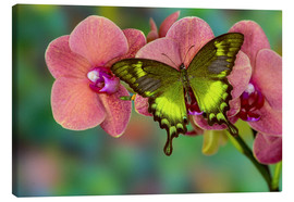 Toile  Green swallowtail butterfly on orchid - Darrell Gulin