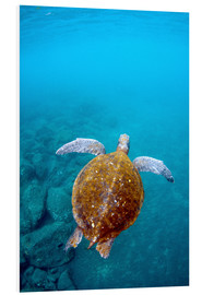 Tableau en PVC  Galapagos Green Sea Turtle (Chelonia mydas agassizi) underwater GALAPAGOS ISLANDS, Ecuador, South Am - Pete Oxford