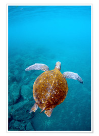 Poster  Tortue marine aux Galapagos - Pete Oxford