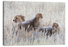 Toile  Cheetah (Acinonyx jubatus) with cubs, Kgalagadi Transfronter Park, Northern Cape, South Africa, Afri