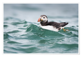 Matthew Cattell - Puffin (Fratercula arctica) riding a small wave in North Haven on Skomer, Wales, United Kingdom, Eur