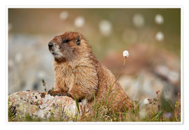 Poster Marmotte