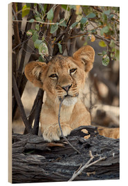James Hager - Lion cub chews with relish