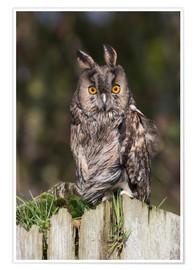 Poster  Long-eared owl