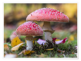 Poster  Toadstools in autumn leaves - Heiko Mundel