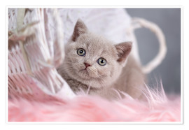Poster Chaton british shorthair